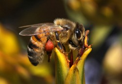 April - Honey bee, photo by Keith Urro